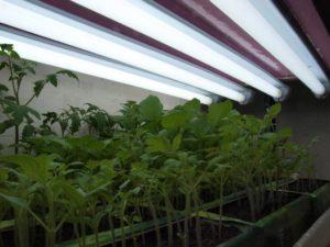 Использование люминесцентной лампы для выращивания рассады